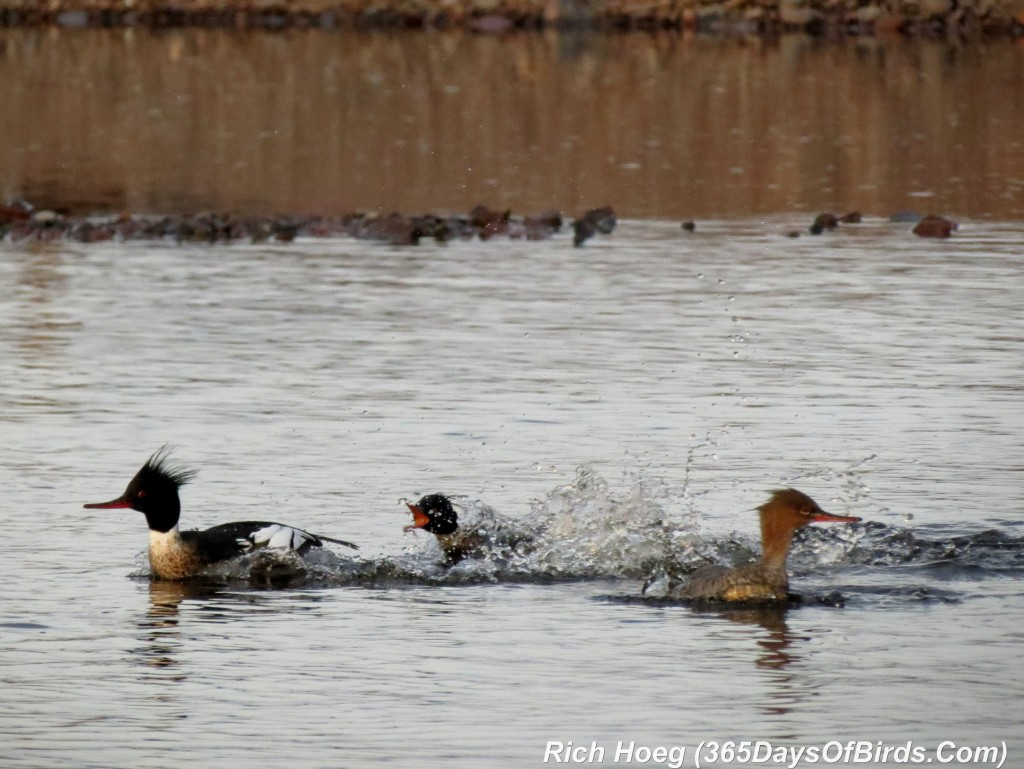 117-Birds-365-Love-Fight-Mergansers