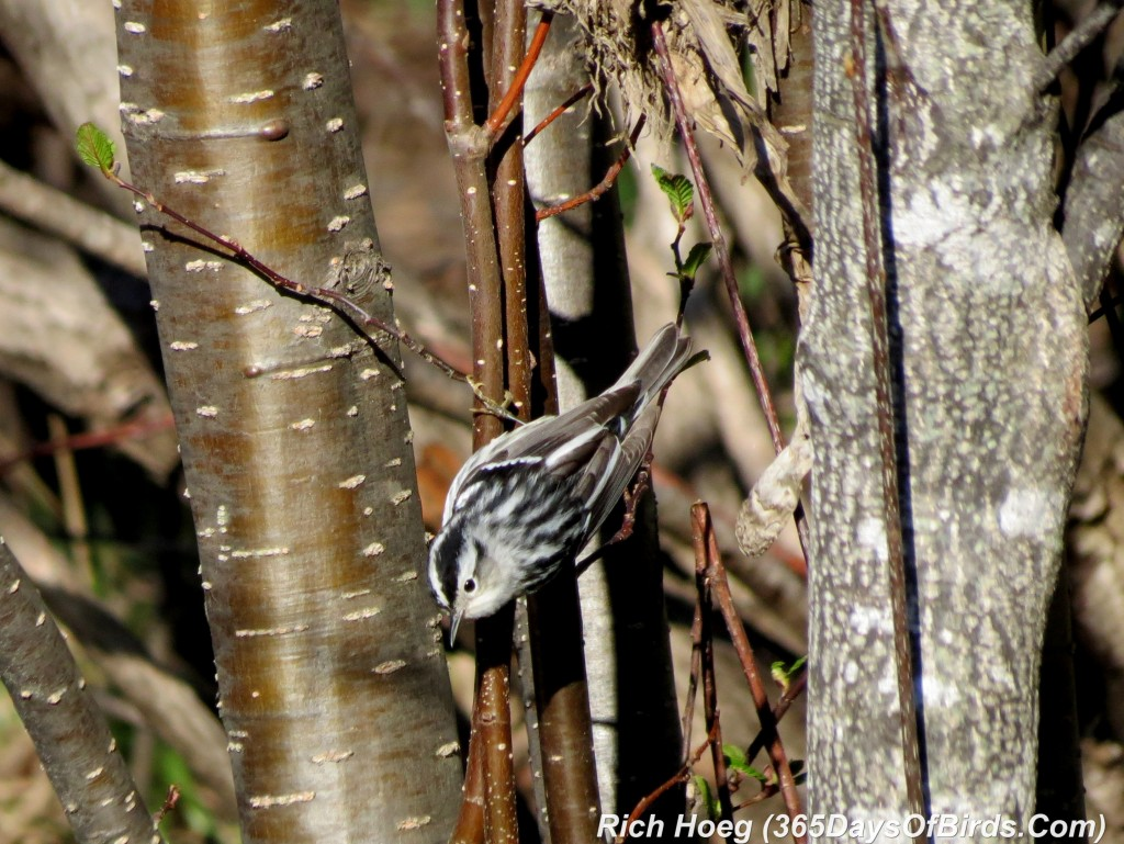 121-Birds-365-Black-And-White-Warbler