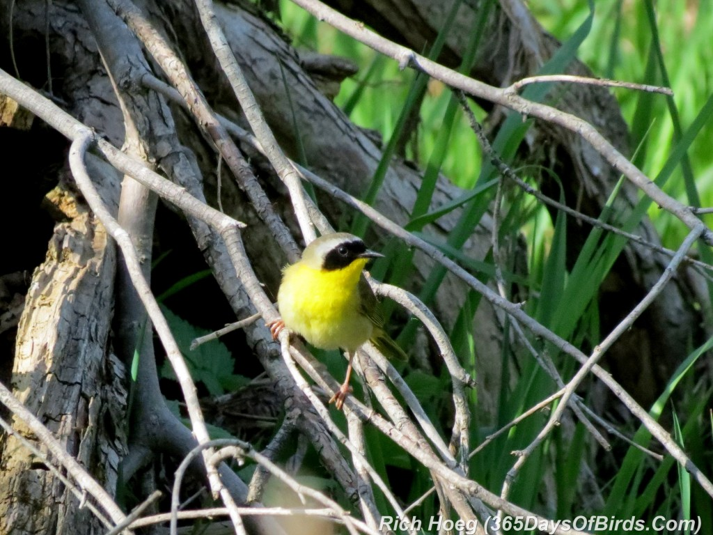 128-Birds-365-Yellow-Throated-Warbler-1