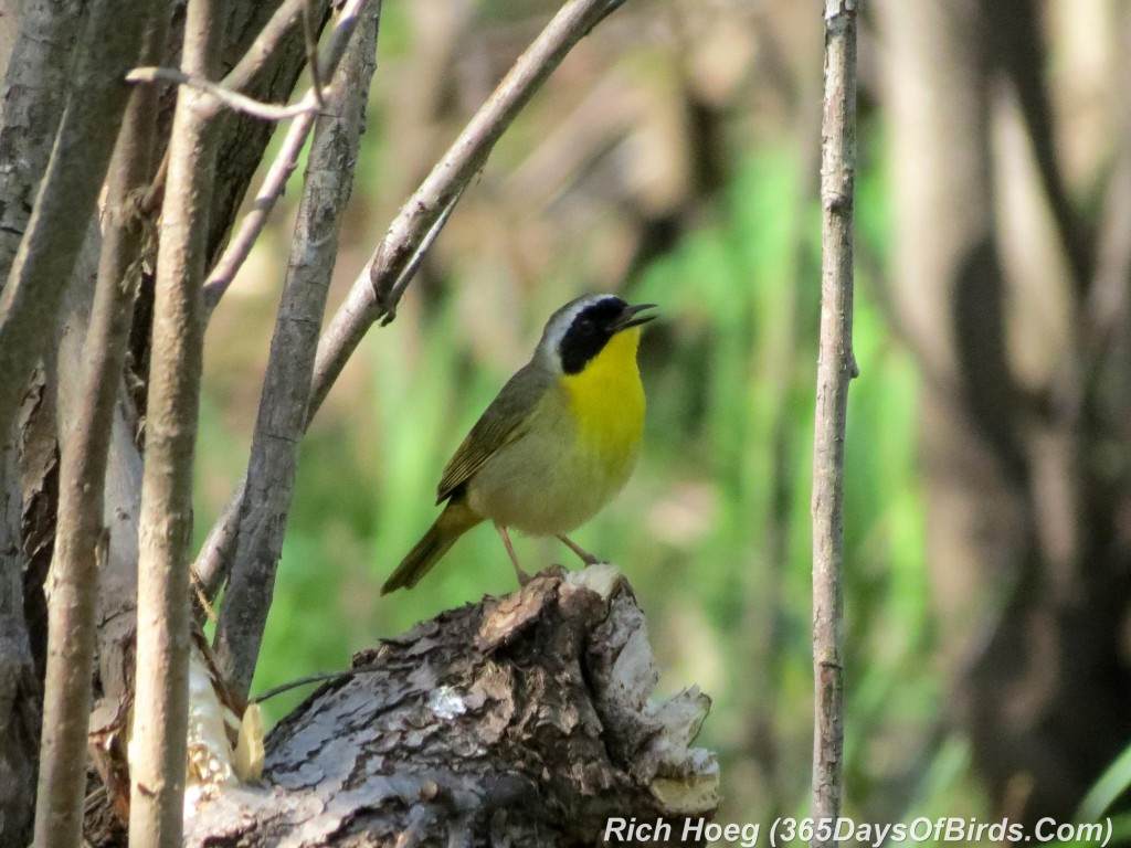 128-Birds-365-Yellow-Throated-Warbler-2