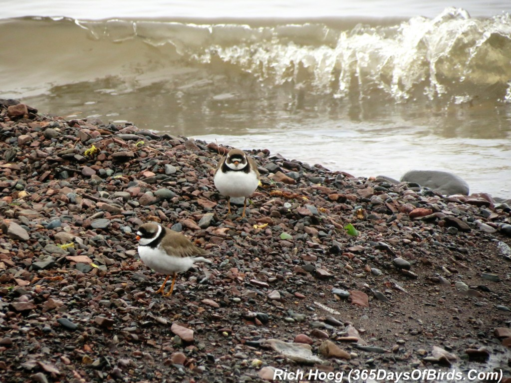 131-Birds-365-Semipalmated-Plover-1