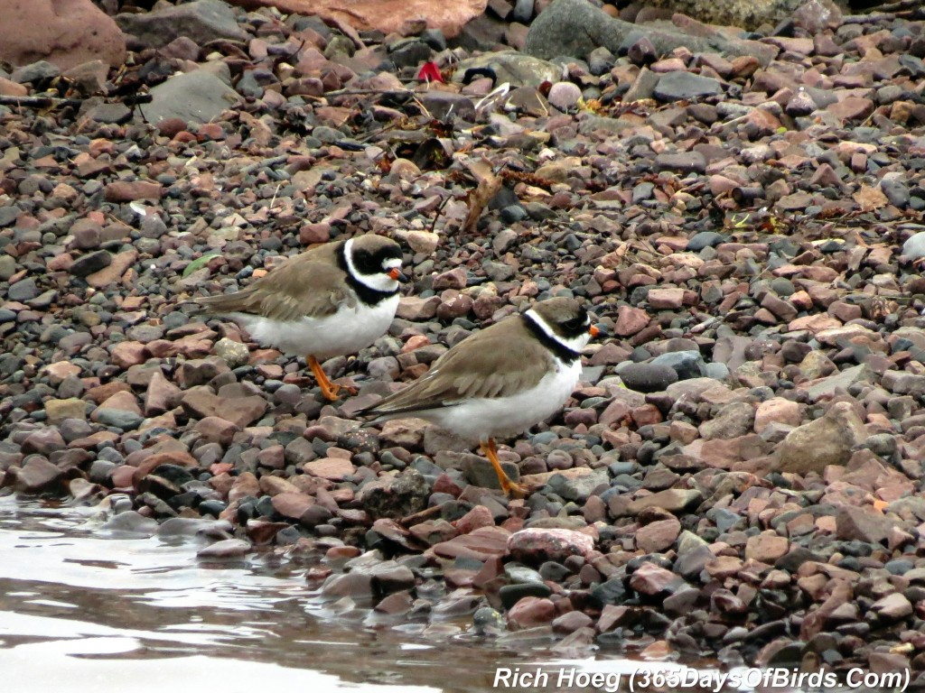 131-Birds-365-Semipalmated-Plover-2