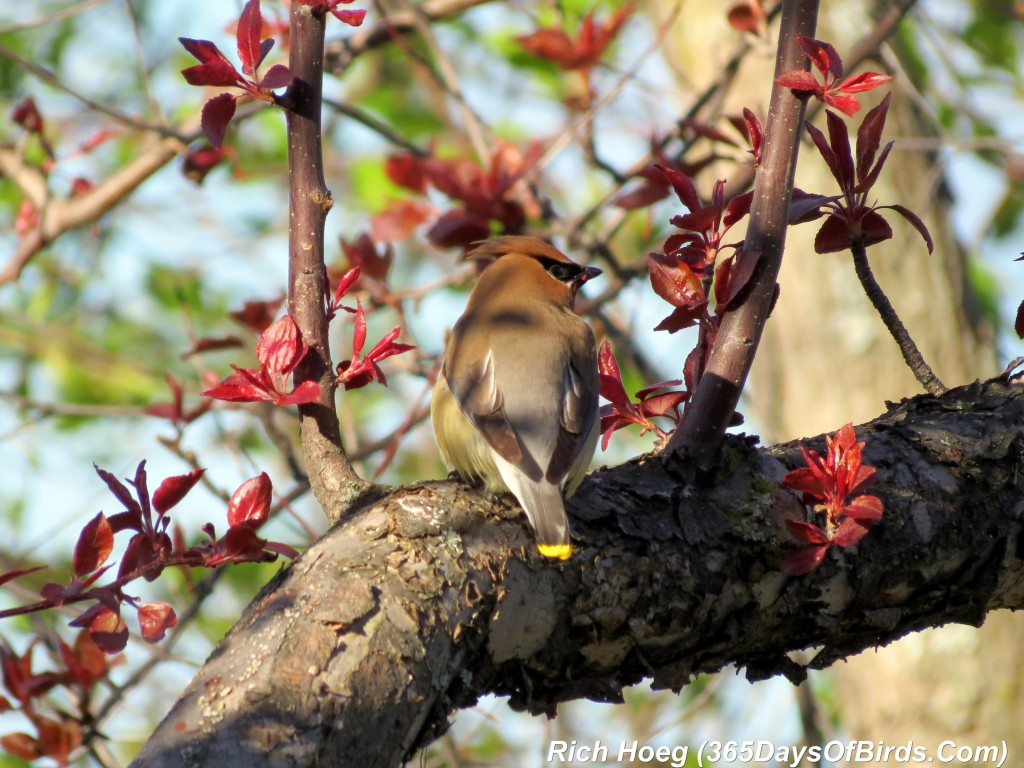 132-Birds-365-Park-Point-Cedar-Waxwings-1