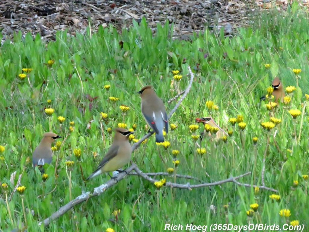 132-Birds-365-Park-Point-Cedar-Waxwings-3