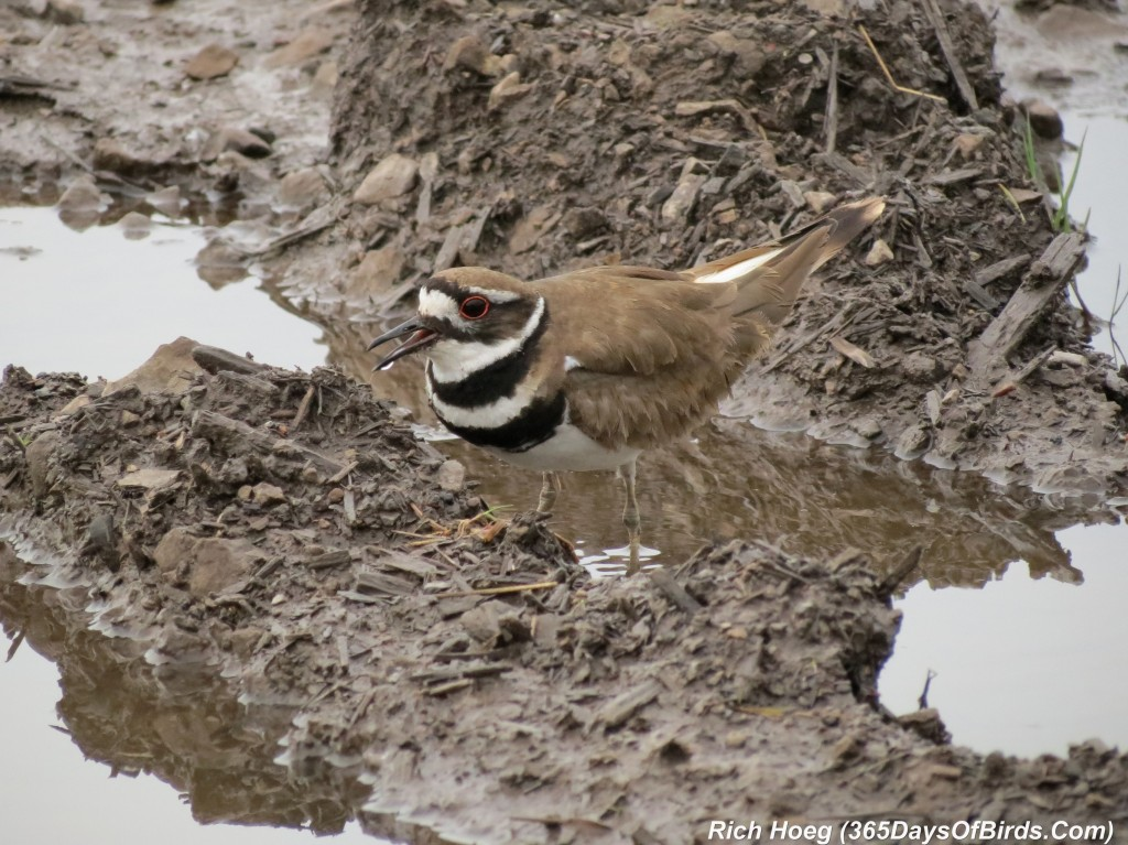 138-Birds-365-Killdeer-Family-3-Parent