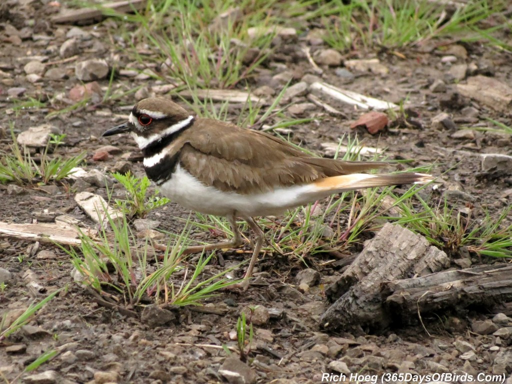 138-Birds-365-Killdeer-Family-4-Parent