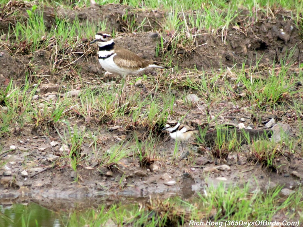 138-Birds-365-Killdeer-Family-5-Parent-Chick