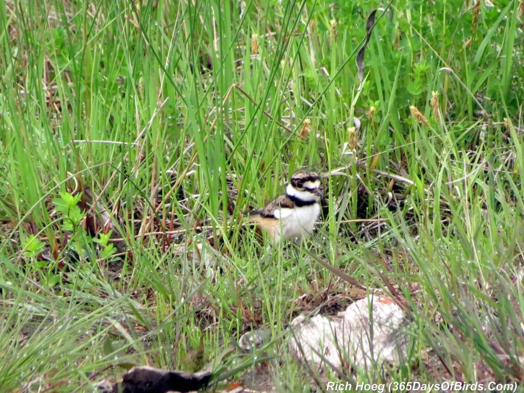 138-Birds-365-Killdeer-Family-6-Chick