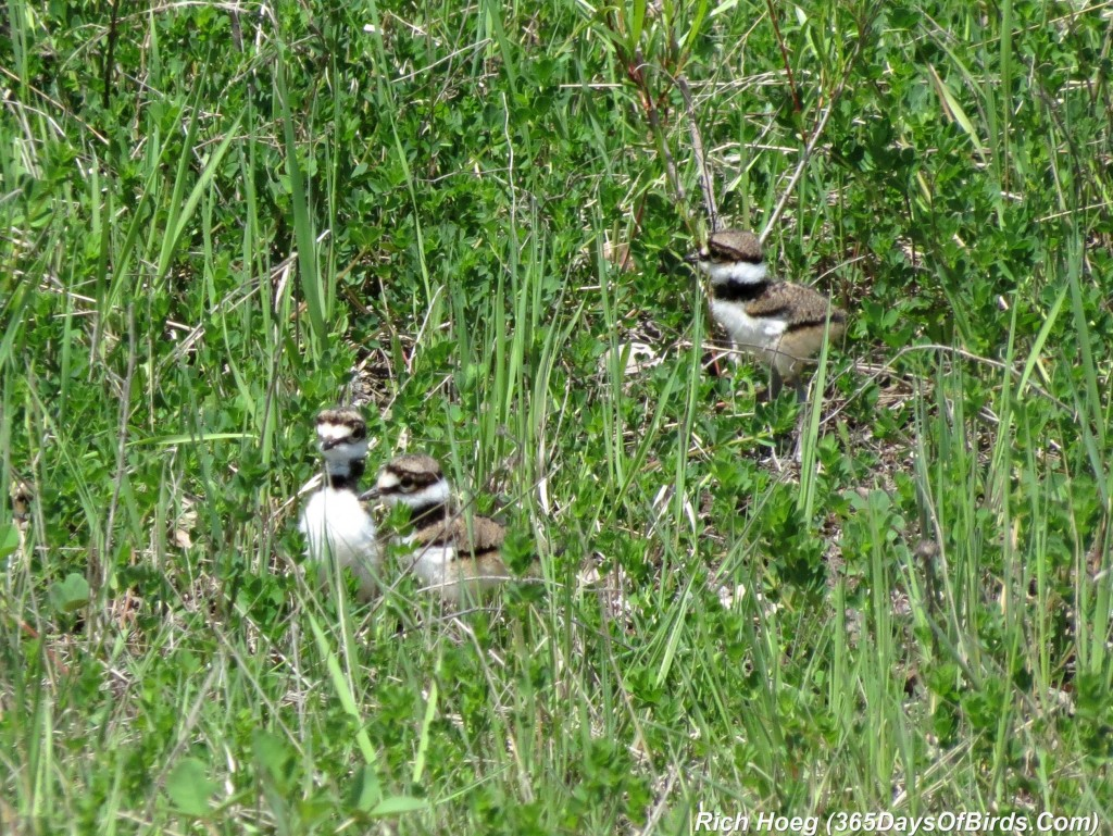 138-Birds-365-Killdeer-Family-7-Chicks
