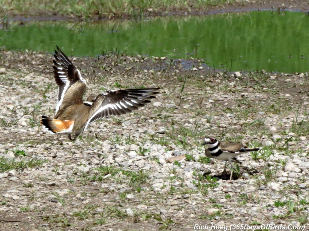 138-Birds-365-Killdeer-Family-8-Defending