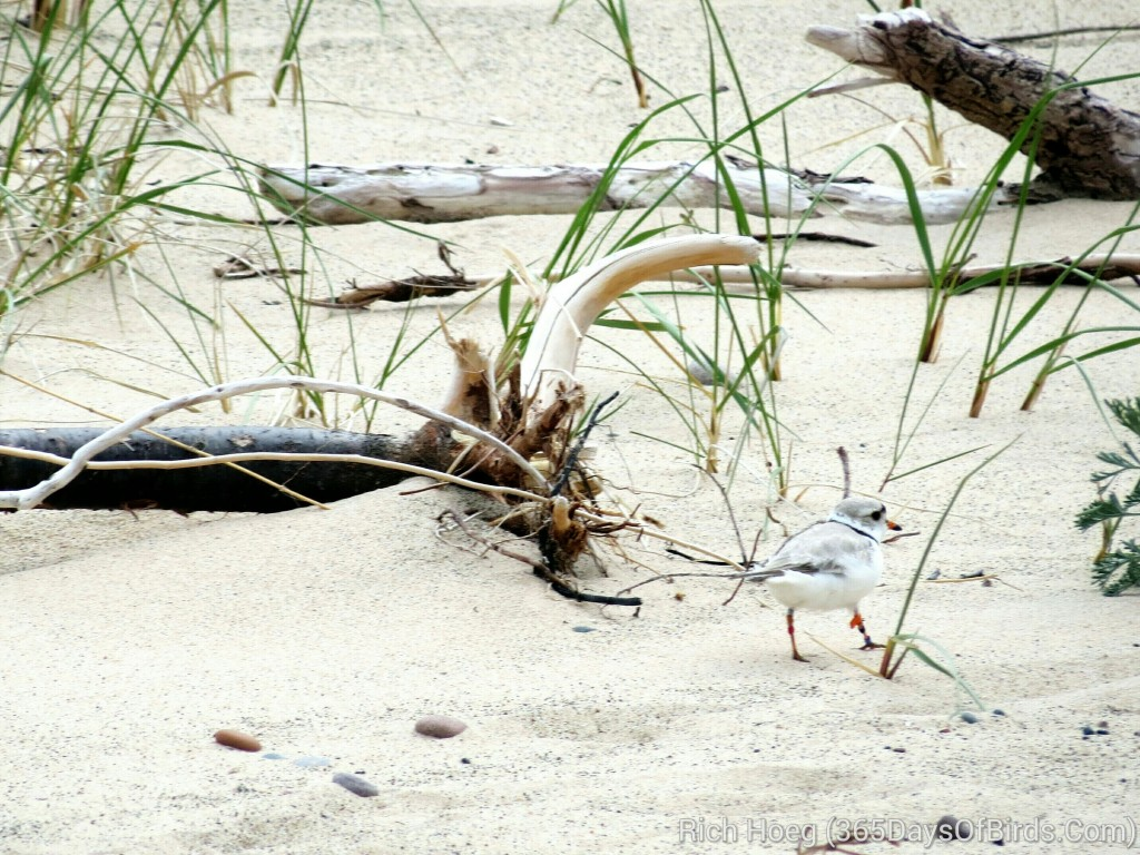 141-Birds-365-Piping-Plover-1
