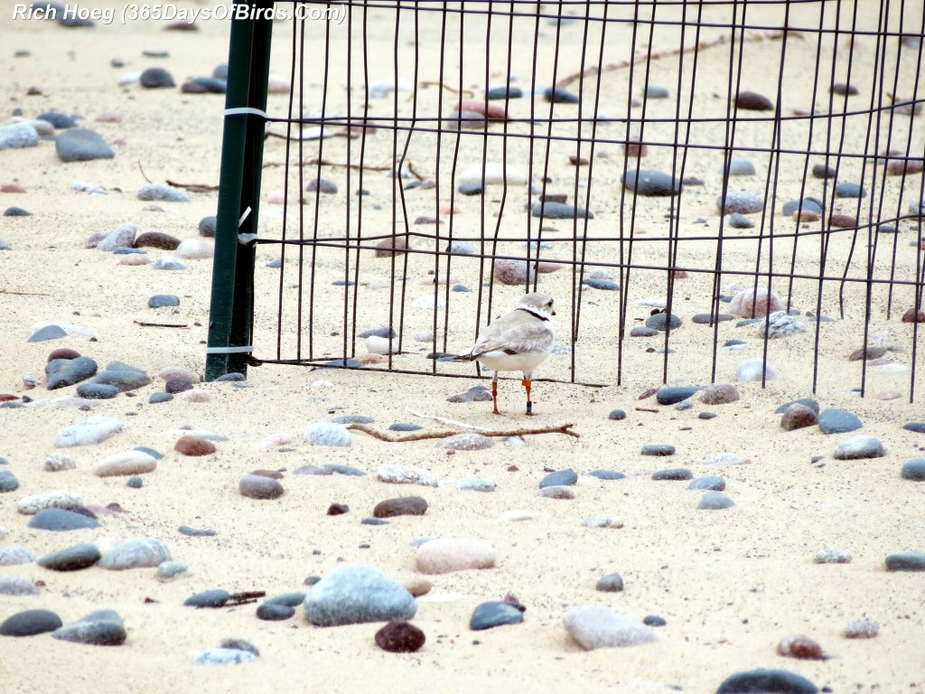 141-Birds-365-Piping-Plover-2
