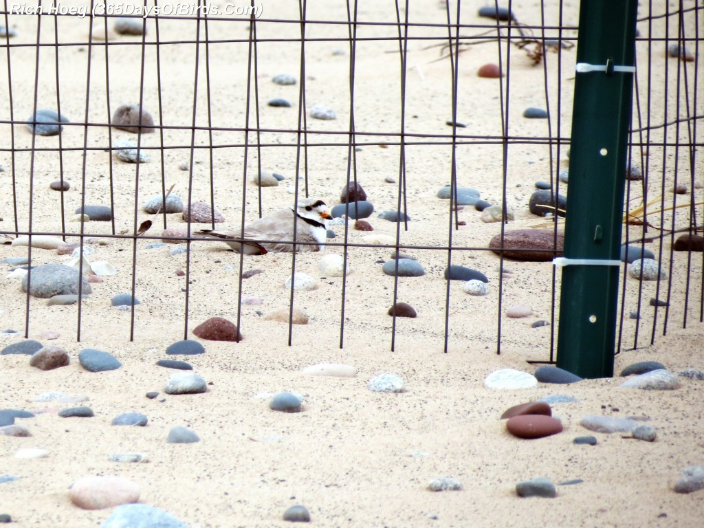 141-Birds-365-Piping-Plover-3