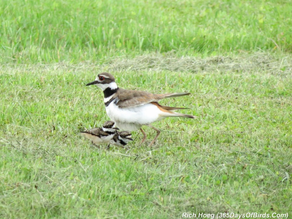 148-Birds-365-Killdeer-and-Chicks-1