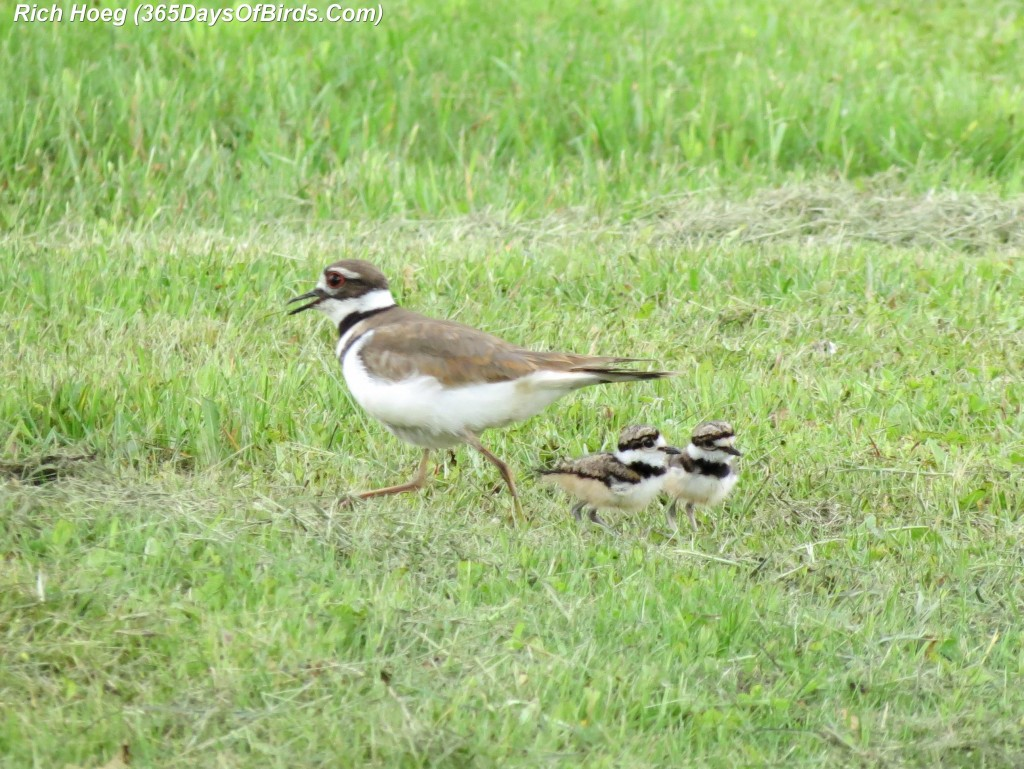 148-Birds-365-Killdeer-and-Chicks-2