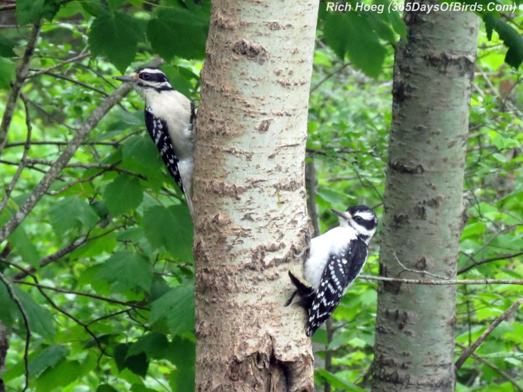 153-Birds-365-Hairy-Woodpecker-Love