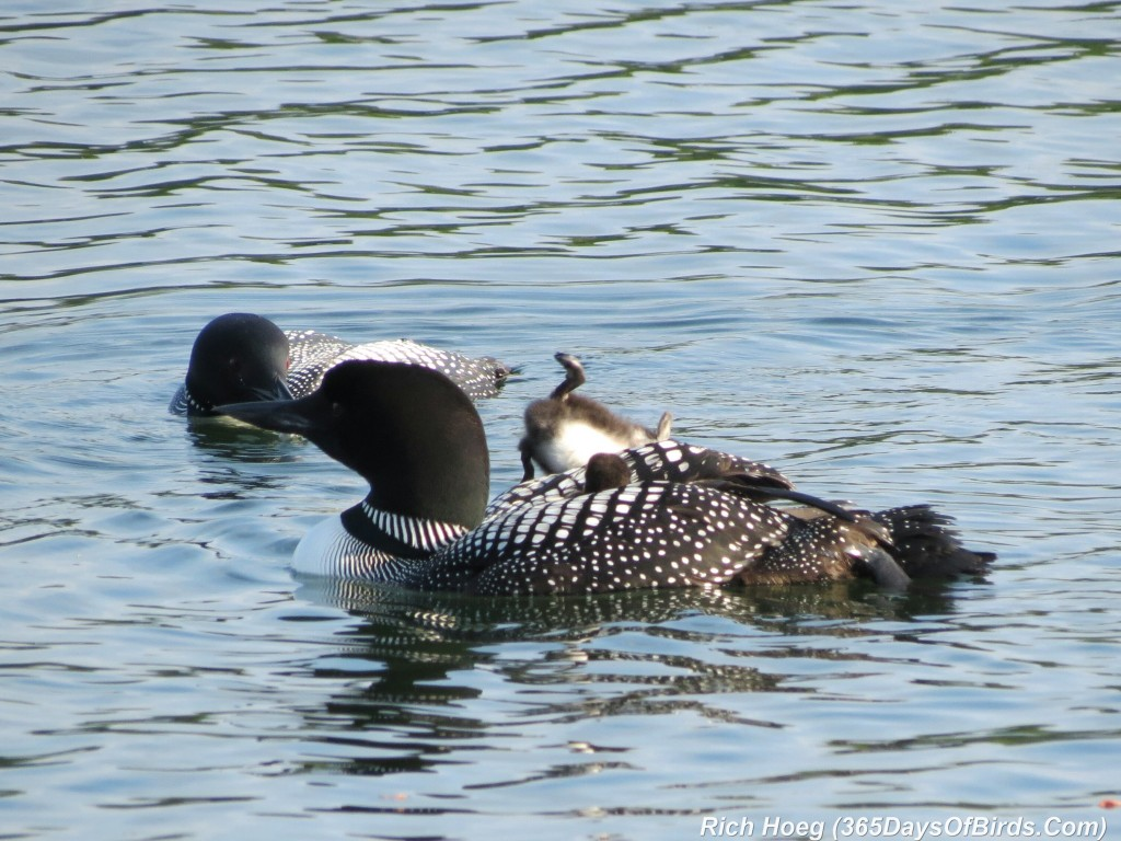 163-D7-Northstar-Common-Loon-Family-01-Breakfast-Dive-2