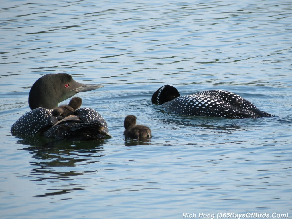 163-D7-Northstar-Common-Loon-Family-07-Next-Fish-A