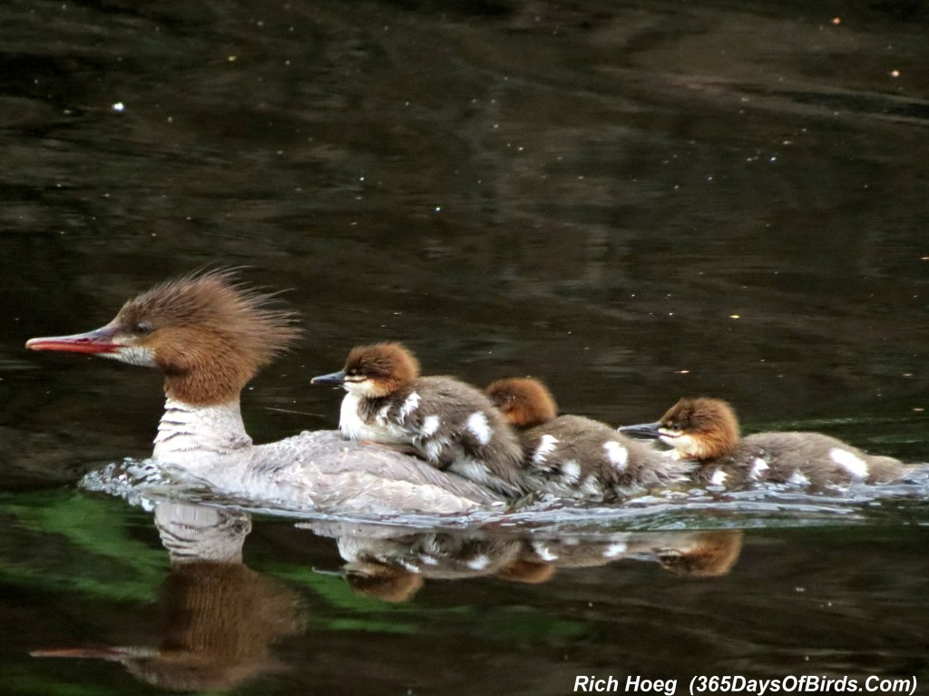 173-Birds-365-Merganser-Ride