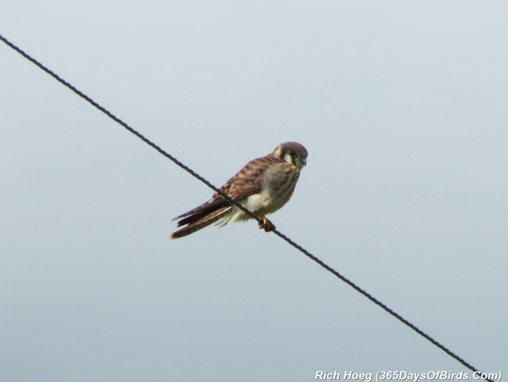 174-Birds-365-American-Kestrel