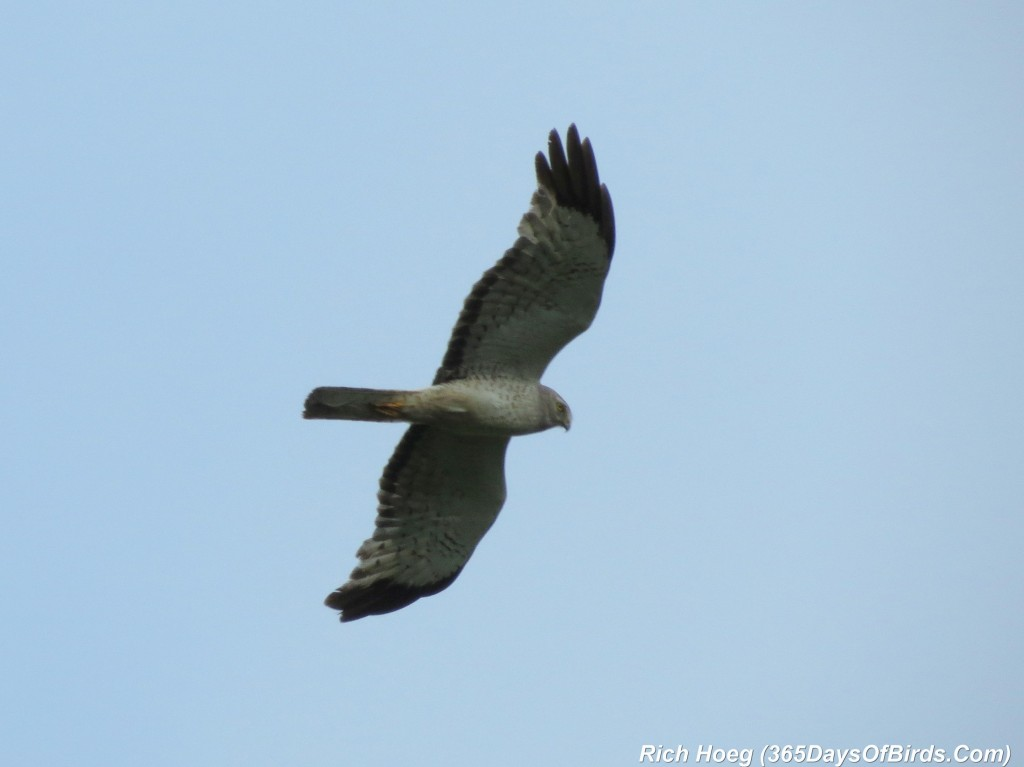 174-Birds-365-Northern-Harrier-1