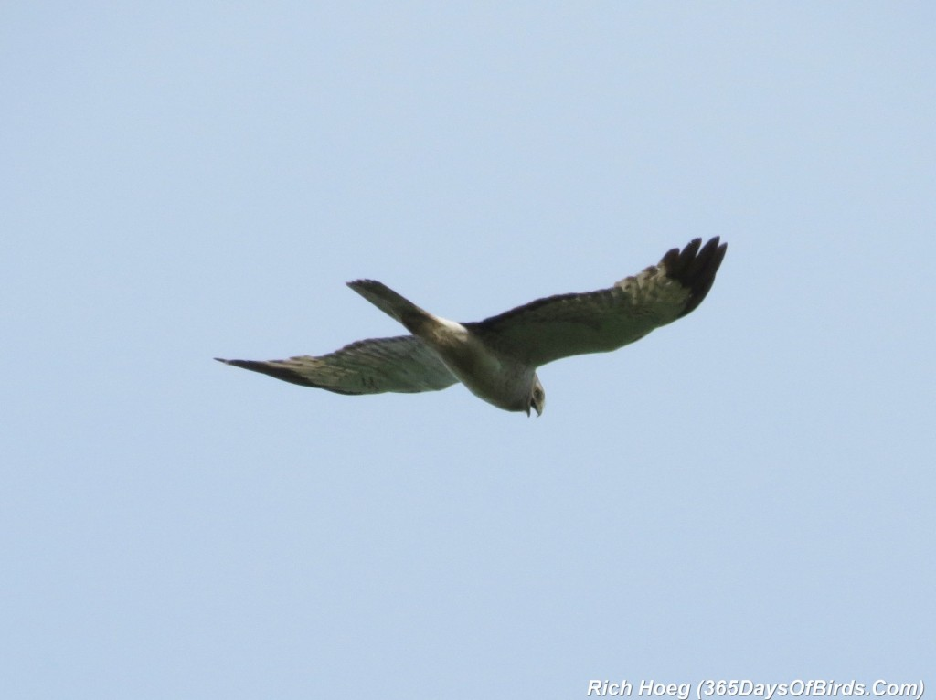 174-Birds-365-Northern-Harrier-2