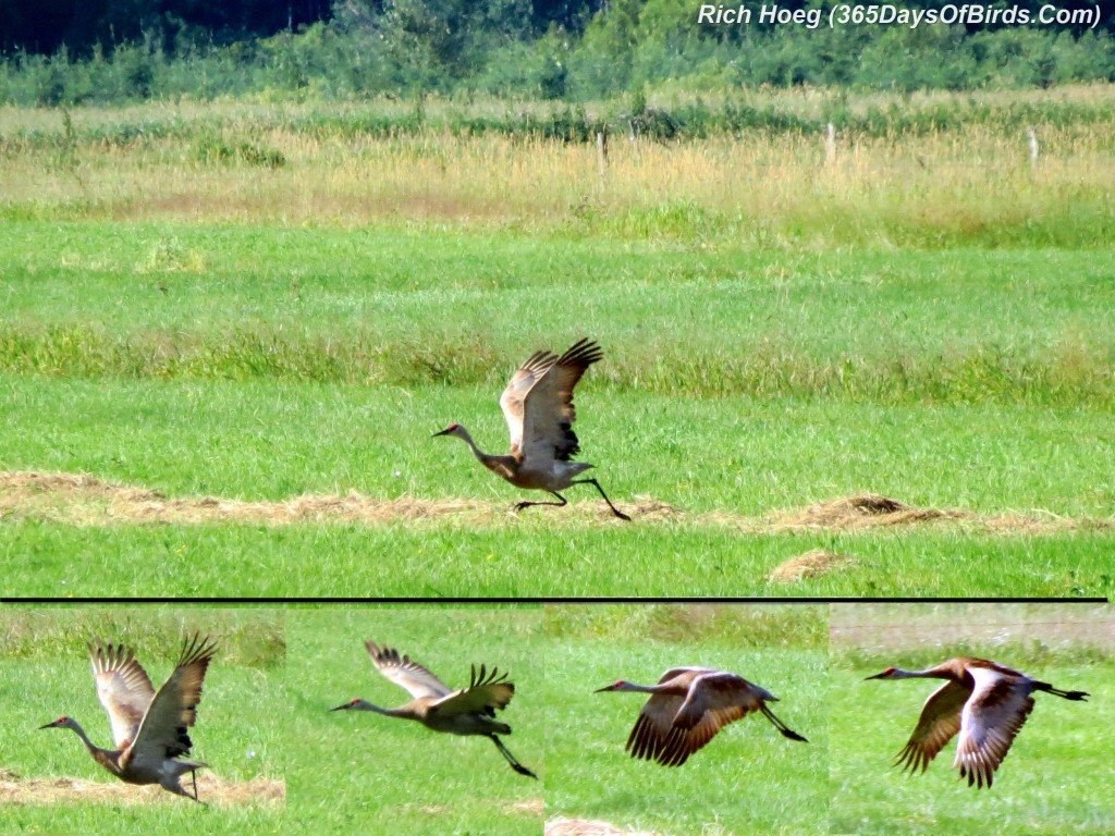 183-Birds-365-Sandhill-Crane-Takeoff-Sequence