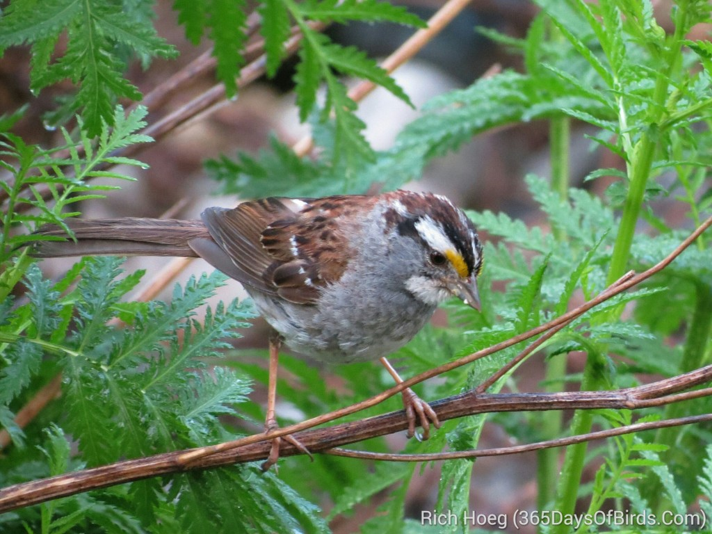 189-Birds-365-White-Throated-Sparrow