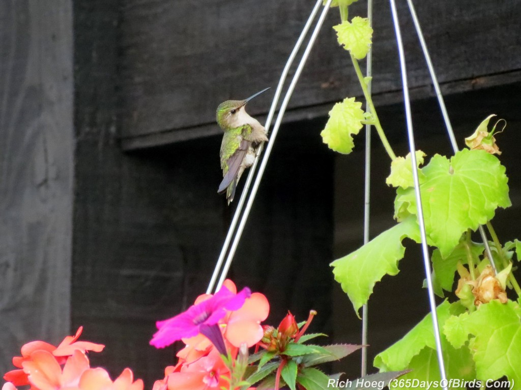 191-birds-365-Ruby-Throated-Hummingbird