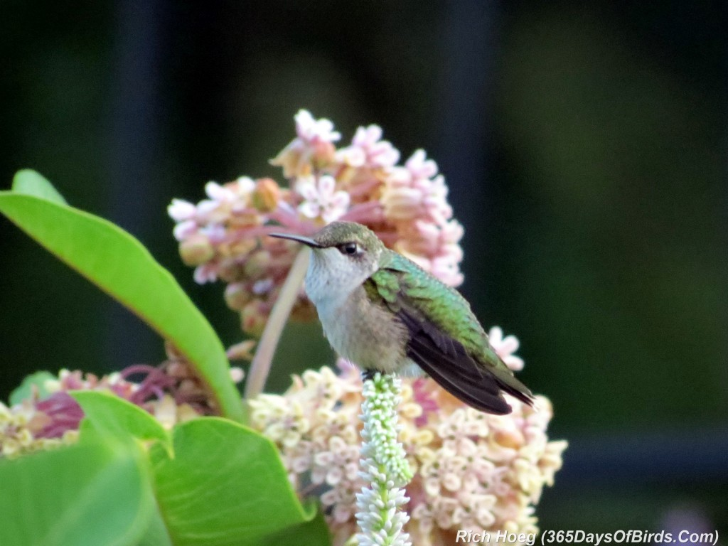 194-Birds-365-Ruby-Throated-Hummingbird-1
