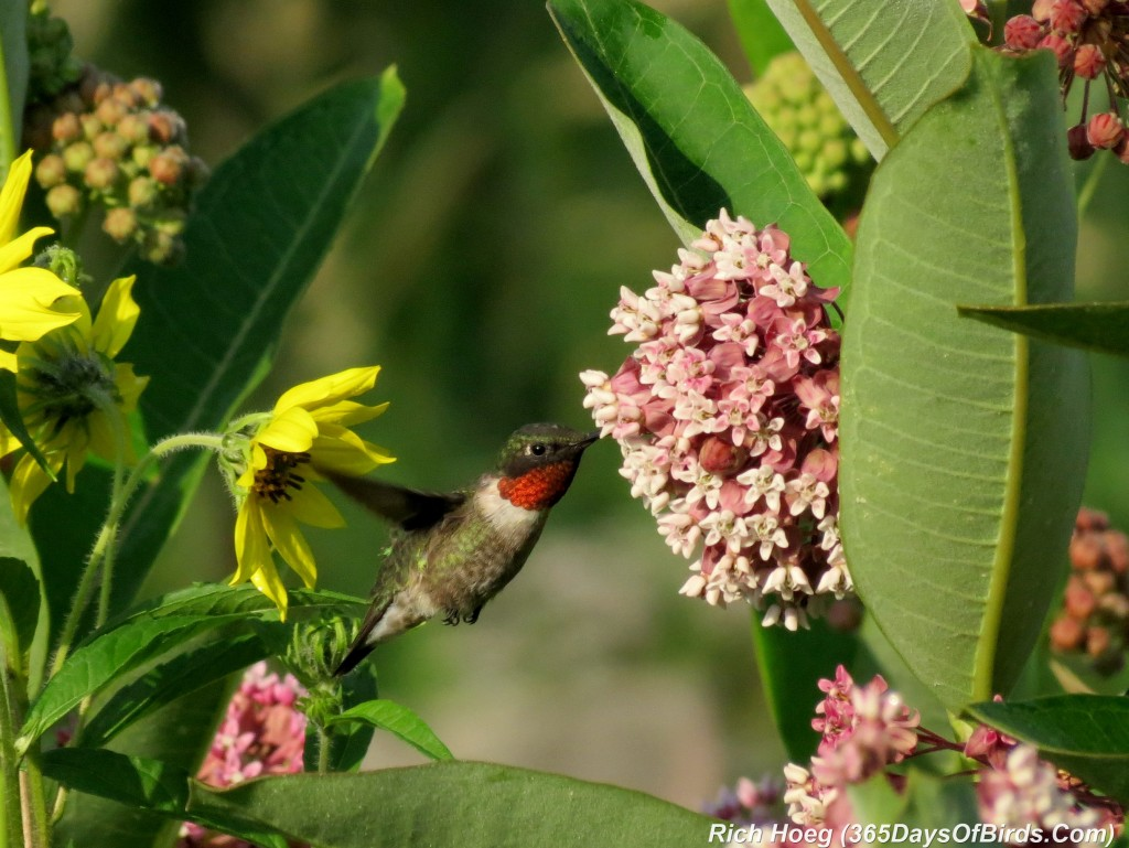 195-Birds-365-Ruby-Throated-Hummingbird-Male-2