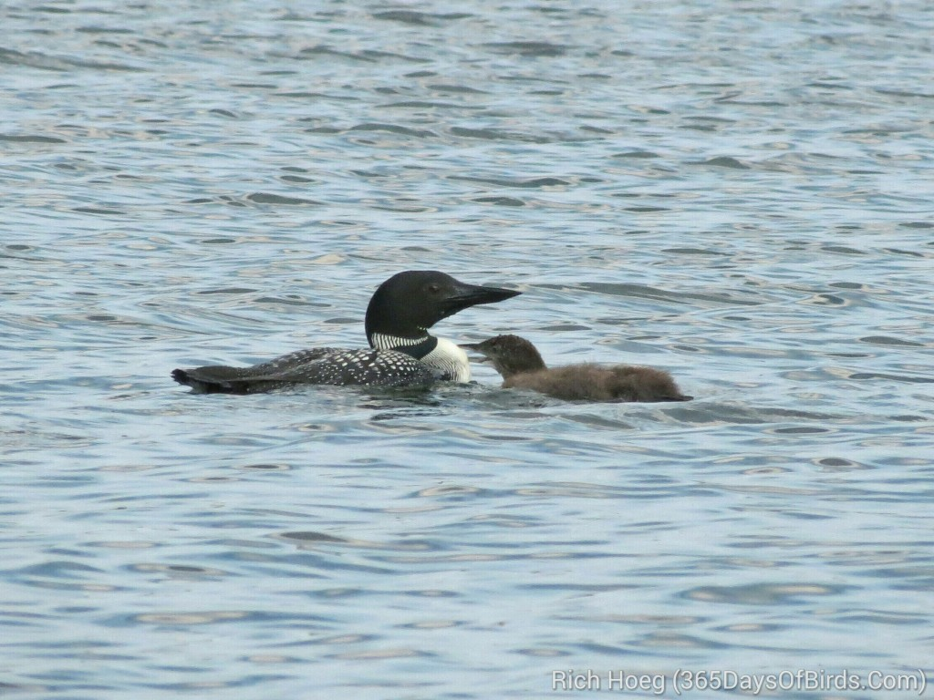 198-Birds-365-Loon-and-Chick