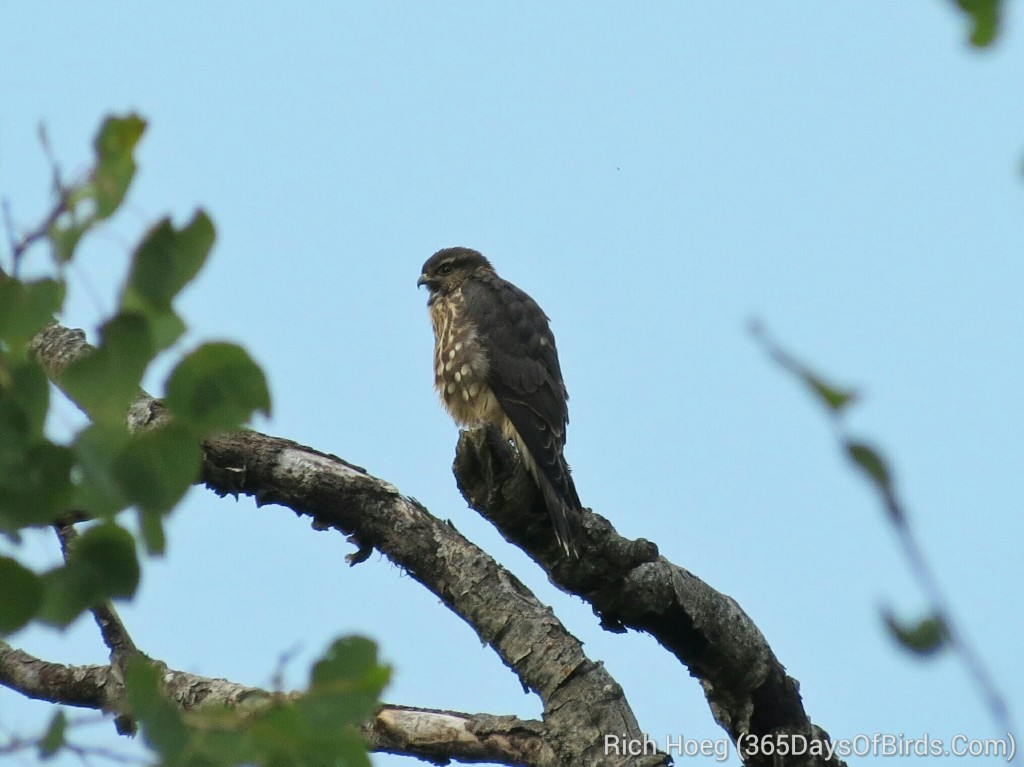 200-Birds-365-Broad-Winged-Hawk-5