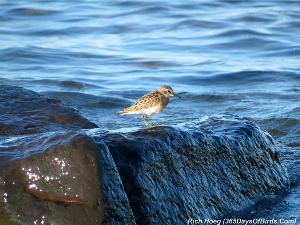 202-Birds-365-Least-Sandpiper-1