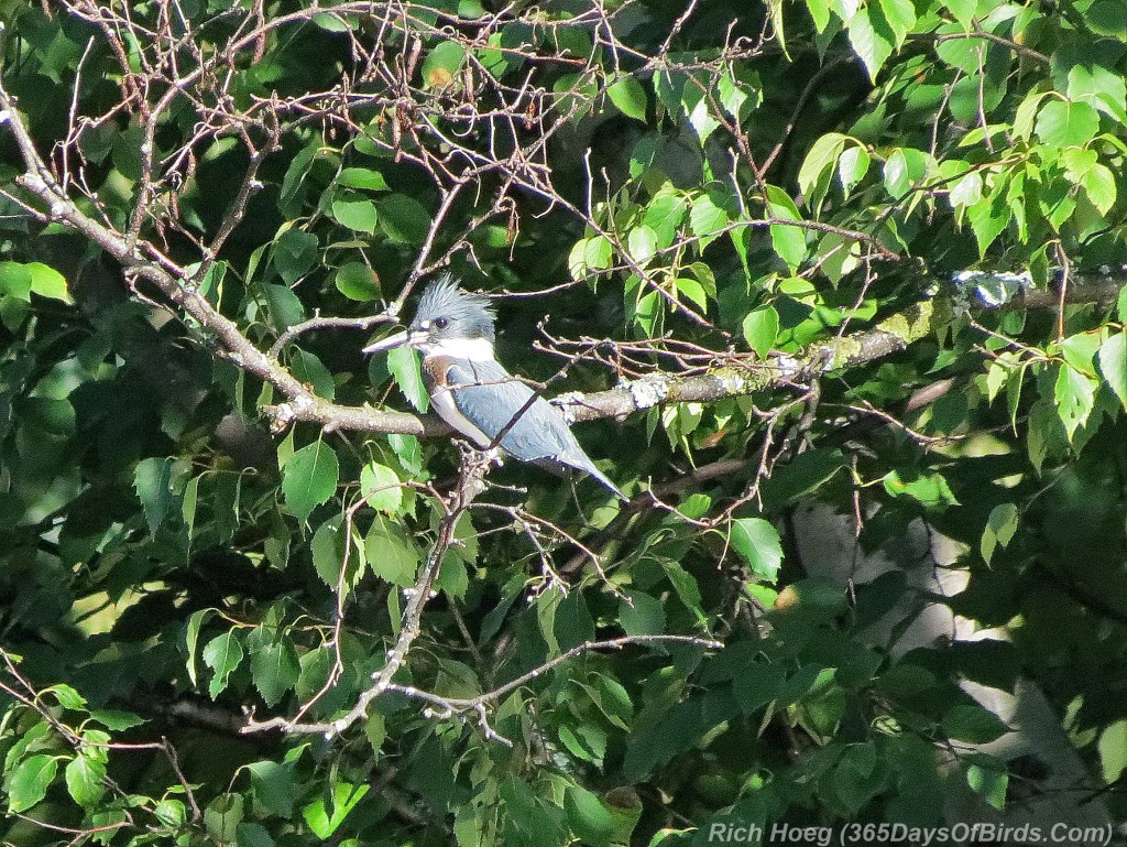215-Birds-Belted-Kingfisher-1