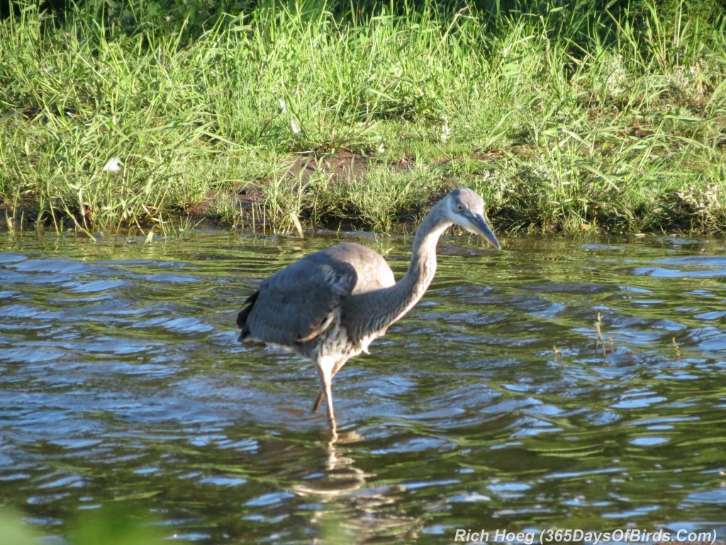 216-Birds-365-Great-Blue-Heron