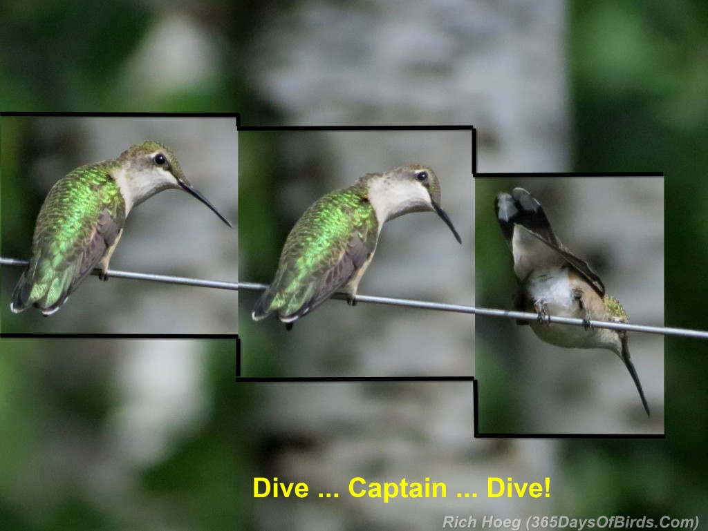 217-Birds-365-Ruby-Throated-Hummingbird-Takeoff-Dive