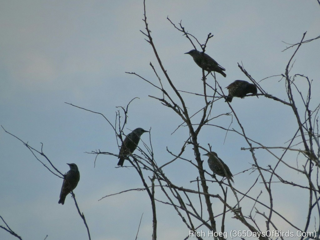 238-Birds-365-starling-silhouettes-at-sunset_wm