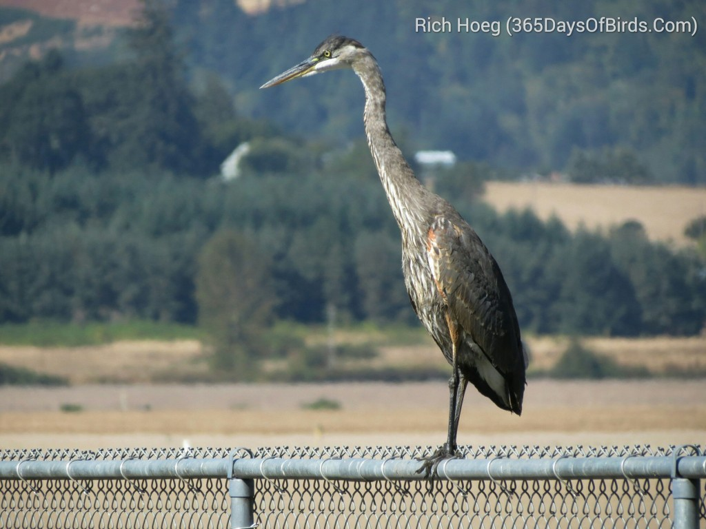 241-Birds-365-Great-Blue-Heron_wm