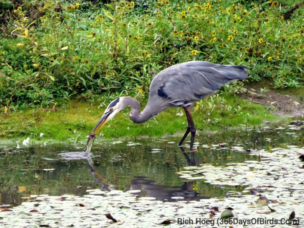 243-Birds-365-Great-Blue-Heron-Strike-1_1_wm