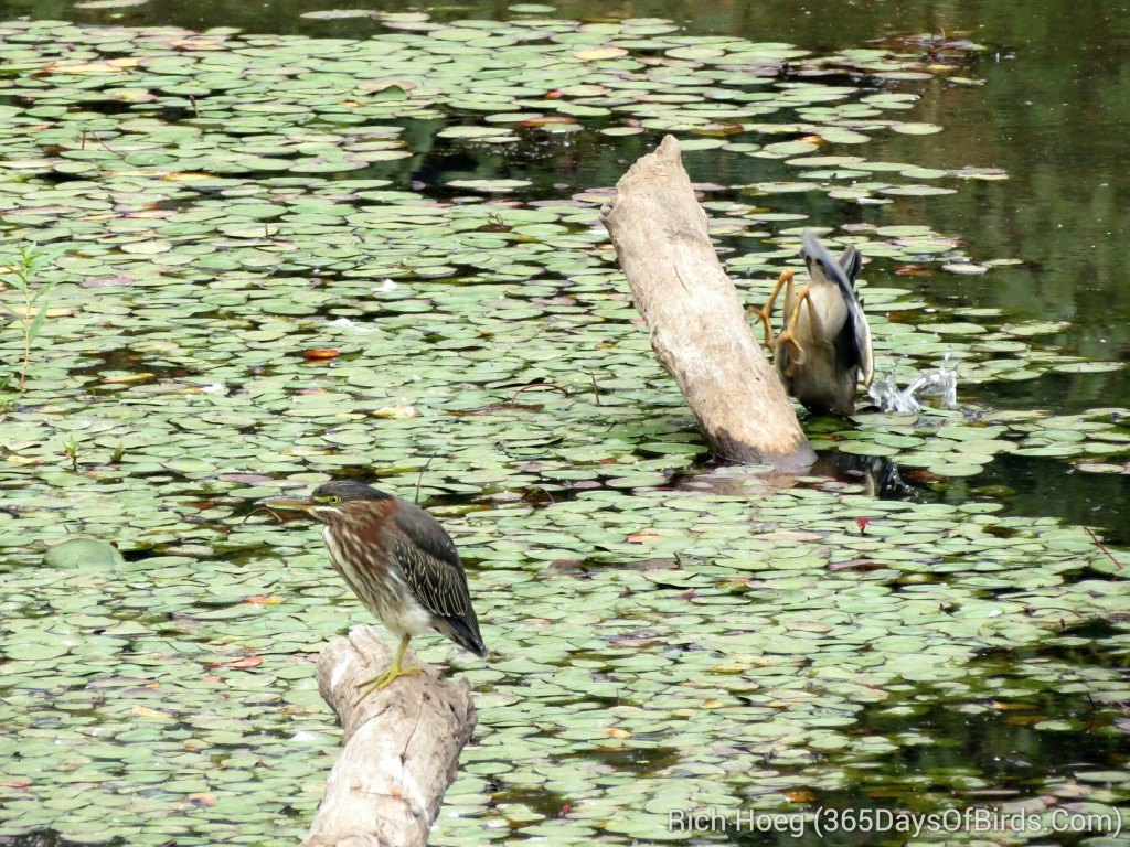 243-Birds-365-Green-Heron-Strike-3_1_wm