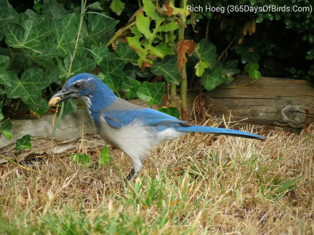 244-Birds-365-Western-Scrub-Jay-Nut_wm