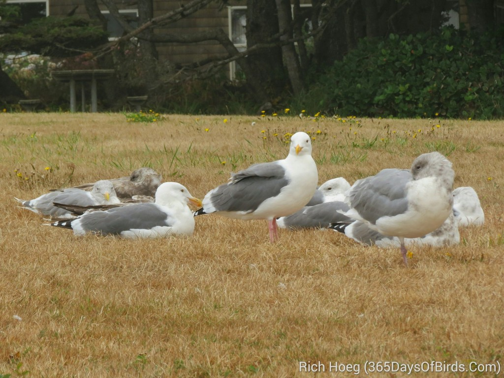 245-Birds-365-Sleeping-Seagulls_wm