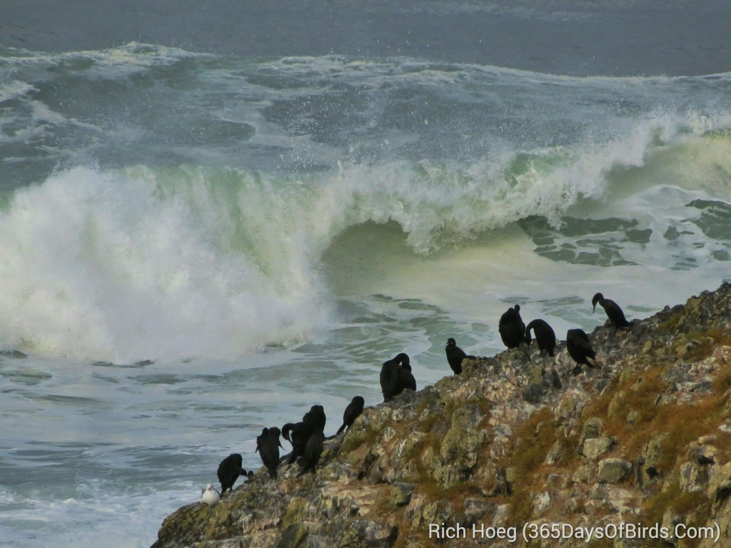 246-Birds-365-Cormorant-Rock_wm