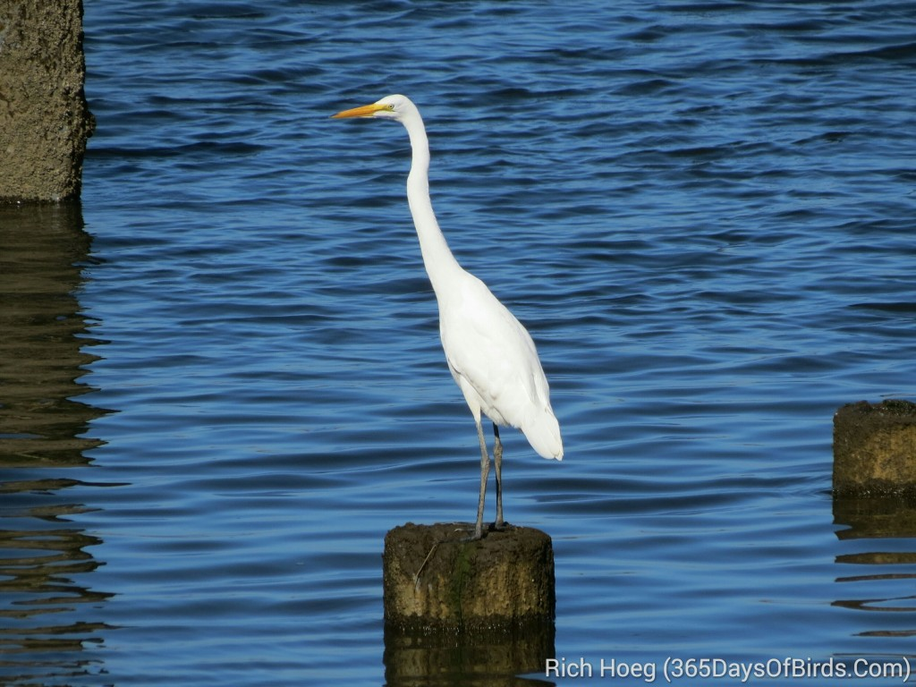 248-Birds-365-Great-White-Egret_wm