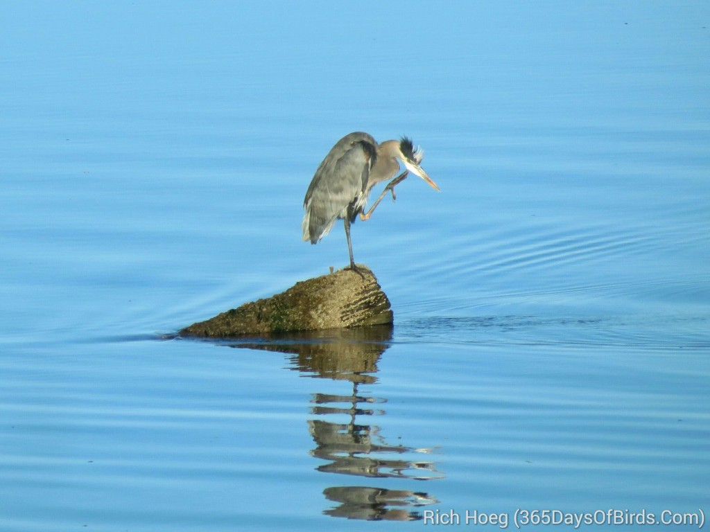 249-Birds-365-Great-Blue-Heron-Itch_wm