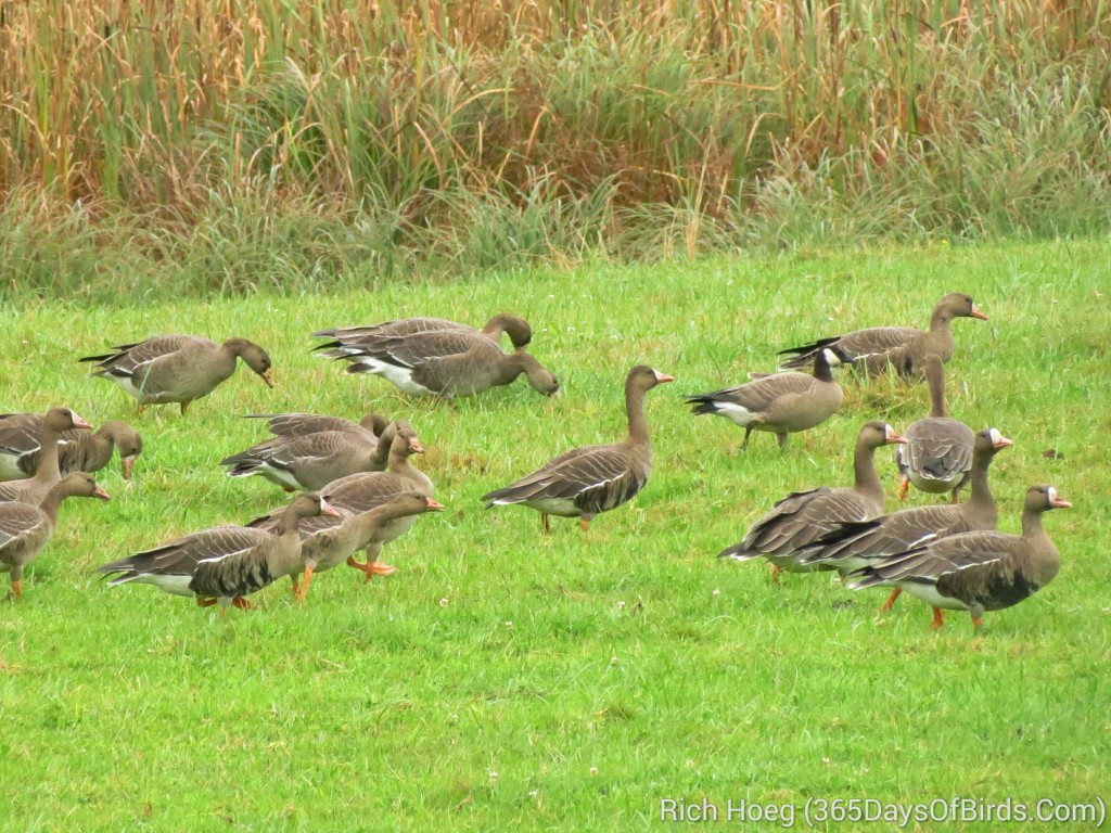 250-Birds-365-Greater-White-Fronted-Goose-2_wm