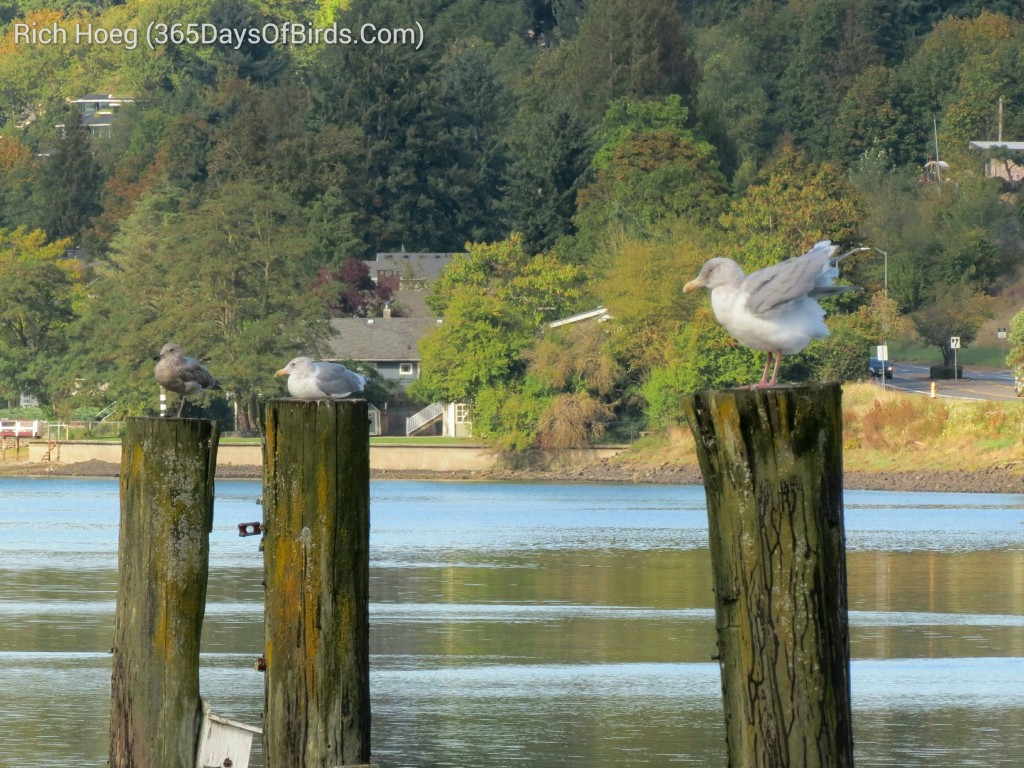 252-Birds-365-Gull-on-Posts_wm