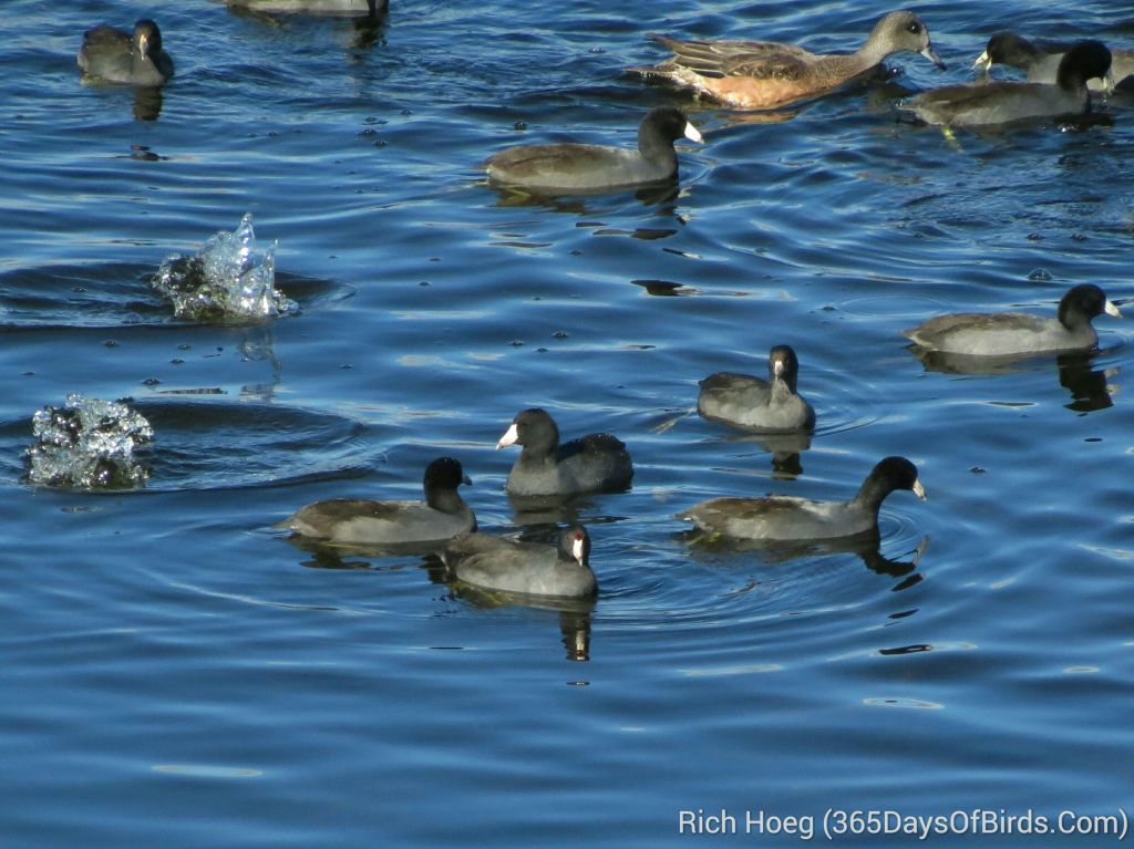 258-Birds-365-Migrating-Coots_wm