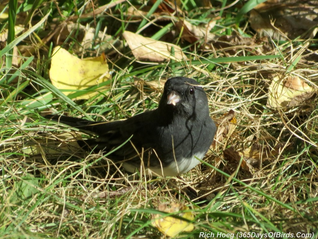 263-Birds-365-Slate-Colored-Junco